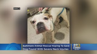 BARCS Hoping To Save Dog Found In Baltimore Alley With Severe Neck Injuries