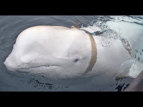 Breaking Russian Spy Caught In Norway Whale?