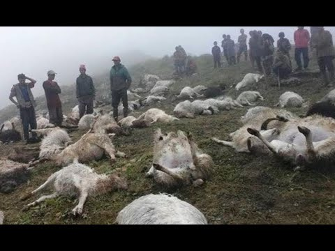 Breaking: The Sheep Are DYING