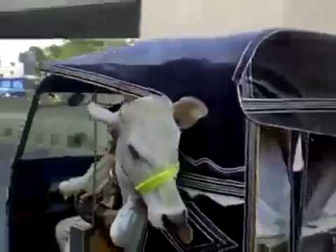 Qurbani Cow In Auto Rickshaw