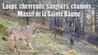 Loups, chevreuils, chamois, sangliers... Massif Ste Baume