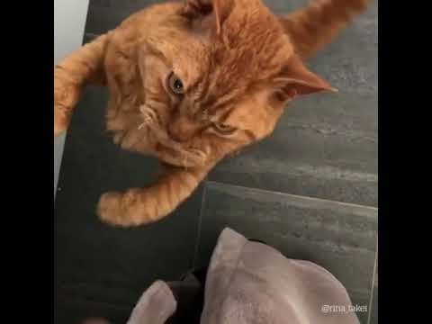 Cat Really Wants A Snack