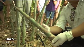 Organic bamboo replaces citrus Bradenton farm