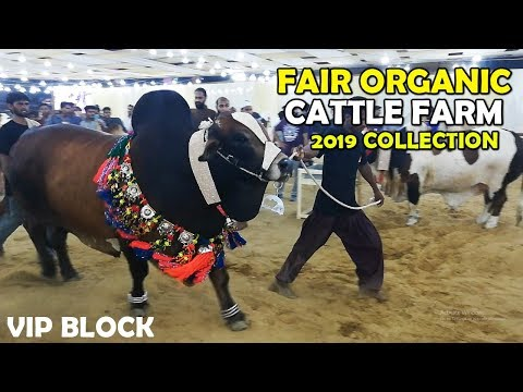 Fair Organic Cattle Farm 2019 Collection at Sohrab Goth Cow Mandi
