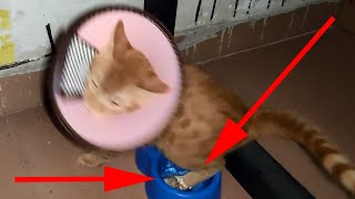 The world is upside down when kitten in the Elizabethan collar for the first time at home