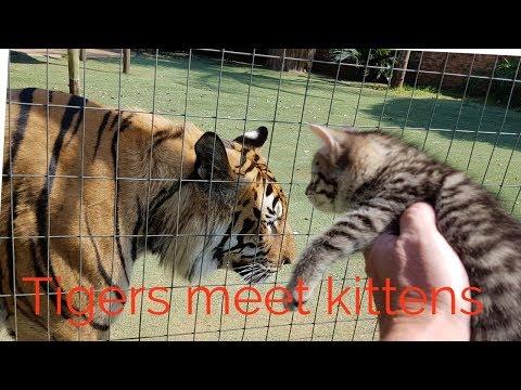 Tigers reaction to the kittens - UC3SIm-UNl4Ou381-PYKzU8w