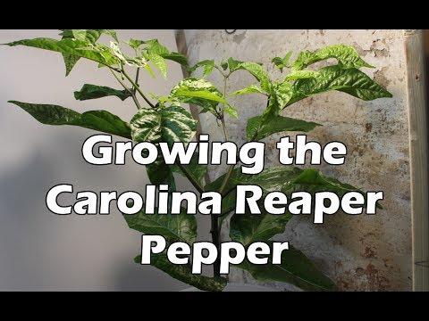 Growing the Carolina Reaper Pepper Plant - UCAn_HKnYFSombNl-Y-LjwyA