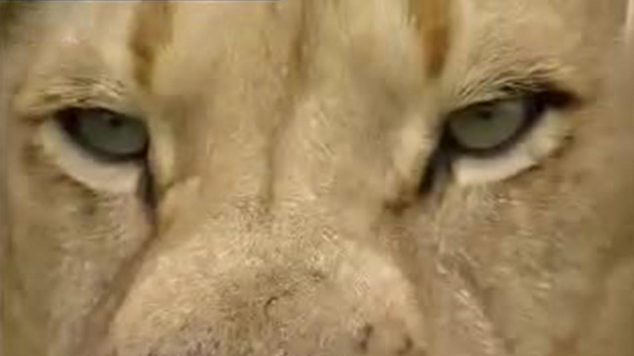 Into the lion's den!  - extreme animals - BBC wildlife