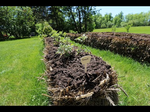 Straw Bale Garden. 2021. Getting the bales ready and getting things planted.