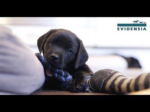 Asiantuntijoiden vinkit: Kun koiranpentu tulee taloon