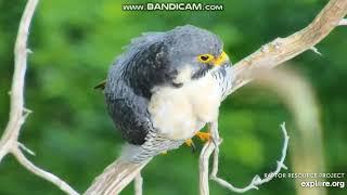 ~ Great Spirit Bluff Cliff -  Sokół wędrowny ~ (  Falco peregrinus )