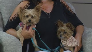FIND A FRIEND: Yorkie duo Otey and Lilly May seeking a forever home