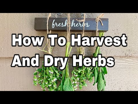 How To Harvest and Dry Herbs - Sage