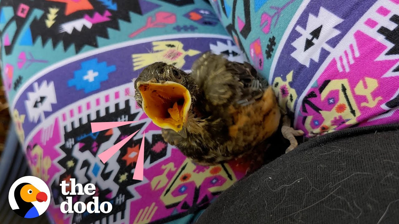 """Tiny Baby Robin Learns To Fly With A Little """"Boost"""" 