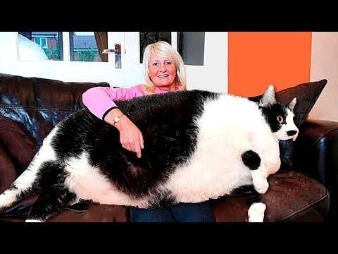 Вот Как Выглядит Самый Большой Кот в Мире