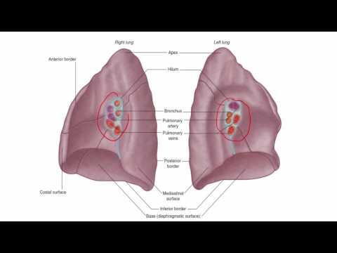 Anatomy 1 | C1 - L12 | Lungs