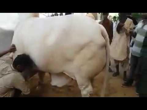 4 Heavy Bulls Unloading
