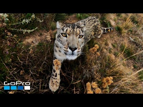 GoPro: Snow Leopard Meets MAX