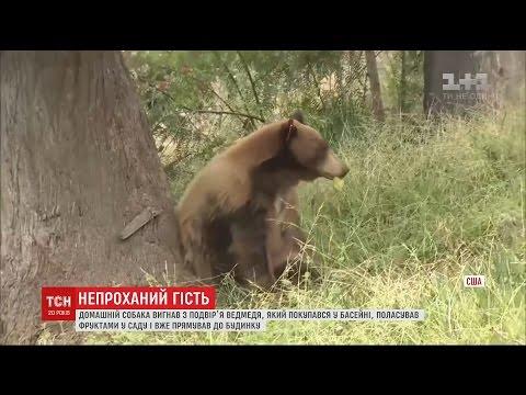 У Каліфорнії хоробрий собака вигнав з подвір'я нахабного ведмедя