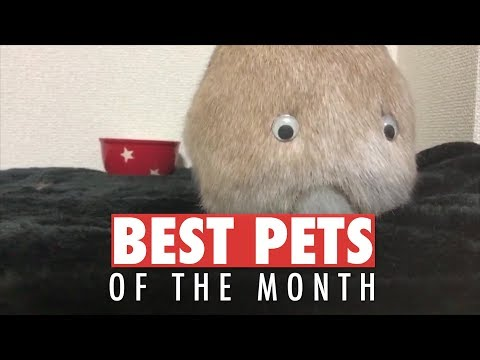 Best Pets of the Month Compilation   May 2018 - UCPIvT-zcQl2H0vabdXJGcpg