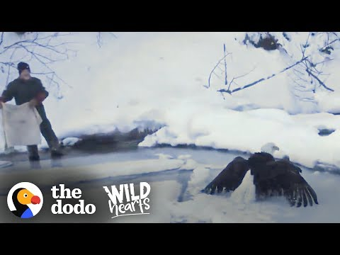 Bald Eagle Who Was Frozen To Lake Gets Found Just In Time | The Dodo Wild Hearts