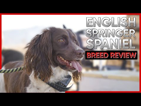 ENGLISH SPRINGER SPANIEL BREED REVIEW