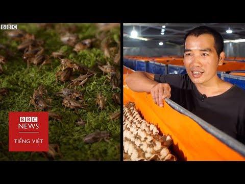 Dế sẽ là thức ăn cho tương lai? - BBC News Tiếng Việt