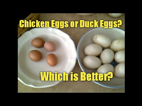 Chicken Eggs or Duck Eggs? Which is Better?