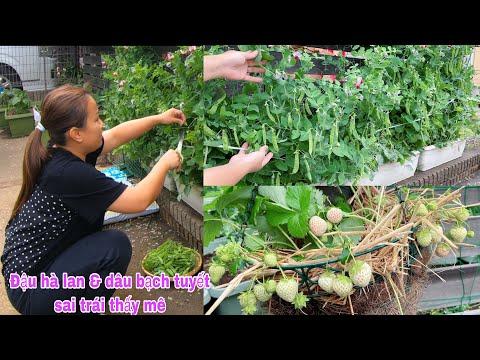 Chỉ 1 bước này dâu tây ăn ngập mặt, hái măng tây,đậu hà lan,xà lách xanh tím,cải ngọt-trồng đậu kiếm