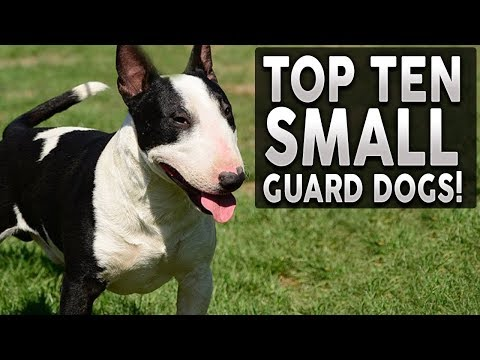 Top 10 SMALL Guard Dog Breeds!