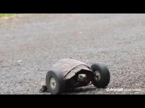 Ön Ayaklarını Kaybeden Kaplumbağaya Model Uçak Tekerleği