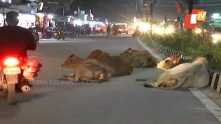 Stray Cattle On Odisha Roads Posing Serious Traffic Problems