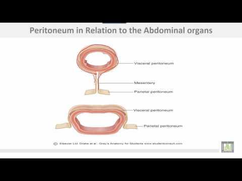 Anatomy 1 | C2 - L5 |  Peritoneal cavity