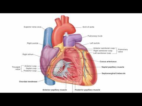 Anatomy 1 | C1 - L9 | Interior of the Heart