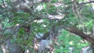 Isards en forêt