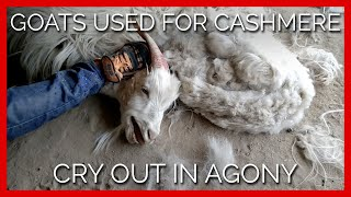 Goats Used for Cashmere Cry Out in Agony