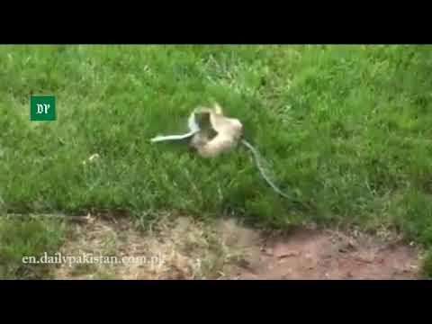 Rabbit Thwarts Snake's Bid To Swallow Her Child