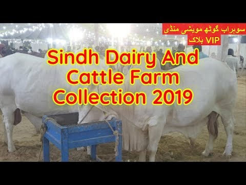 Sindh Dairy Cattle Farm VIP Section Sohrab Goth Mandi 19 July 2019