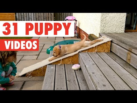 31 Funny Puppies | Funny Dog Video Compilation 2017 - UCPIvT-zcQl2H0vabdXJGcpg