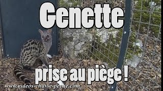 Genette prise au piège !