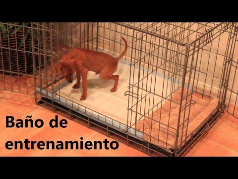 Cómo entrenar a un perro cachorro para ir al baño - Potty Training Puppy Apartment
