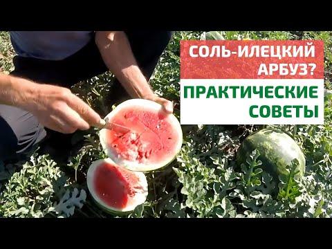 Как вырастить сладкий арбуз? // FORUMHOUSE