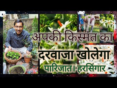 आपकी किस्मत का दरवाजा खोलेगा एक पारीजात का पौधा / Growing Parijat from Seeds