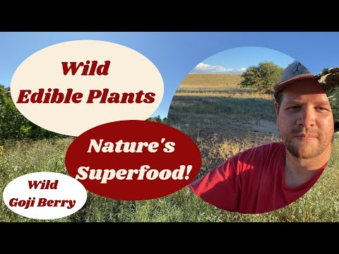 Nature's Superfood! Wild Goji Berry