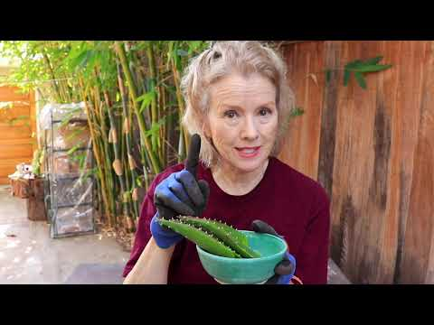 How to PREPARE ALOE VERA for use | Garden Vlog