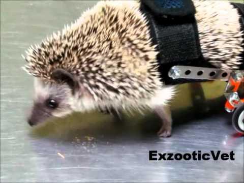Jeżyk dostaje wózek inwalidzki