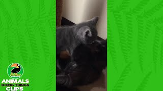 Two Kittens Playing by a Scratching Post | Animals Doing Things Clips