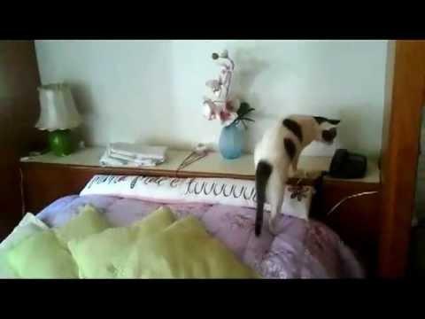 Ten kot jest szalony! Odbiera telefon i próbuje rozmawiać!