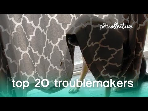 Best Pets of the Year: Top 20 Troublemakers | The Pet Collective - UCPIvT-zcQl2H0vabdXJGcpg