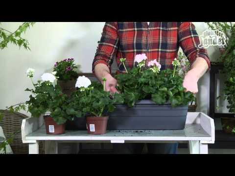 Plantera pelargoner – gör så här